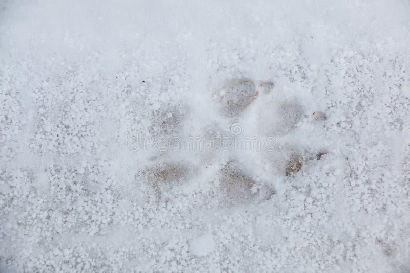 Fottryck av en hund eller en varg p? den vita sn?n arkivbilder