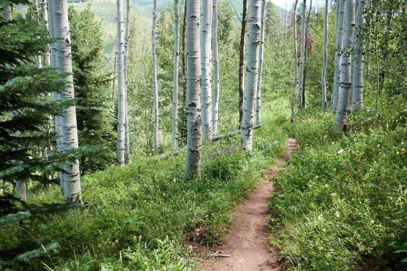 Fotvandra försök eller vandringsledet till och med asp- skogsmark royaltyfri foto