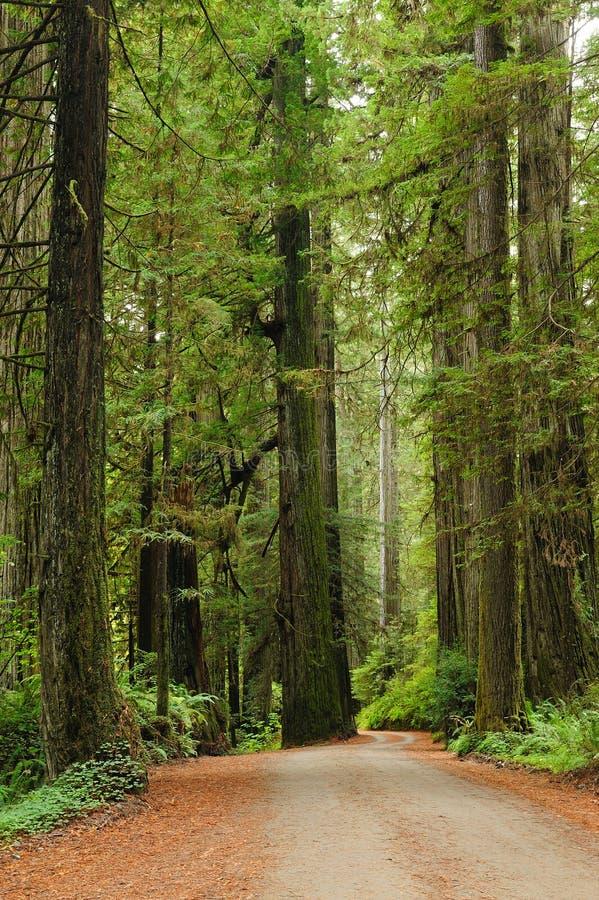 Fotvandra i redwoodträdnationalpark fotografering för bildbyråer