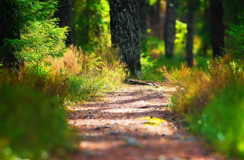 Fotvandra skogbanan till och med tjocka trän royaltyfri bild