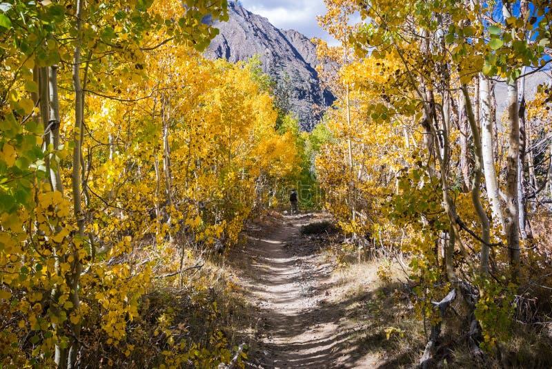 Fotvandra slinga som går till och med en dunge av asp- träd i den östliga toppiga bergskedjan berg, John Muir Wilderness, Kalifor arkivfoton