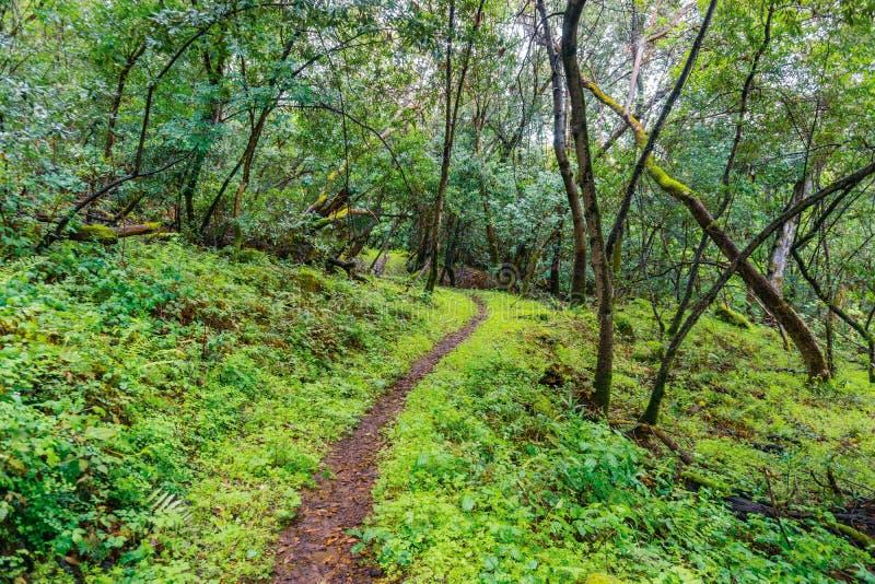 Fotvandra slinga till och med de frodiga skogarna av Santa Cruz berg, San Francisco Bay område, Kalifornien arkivfoto