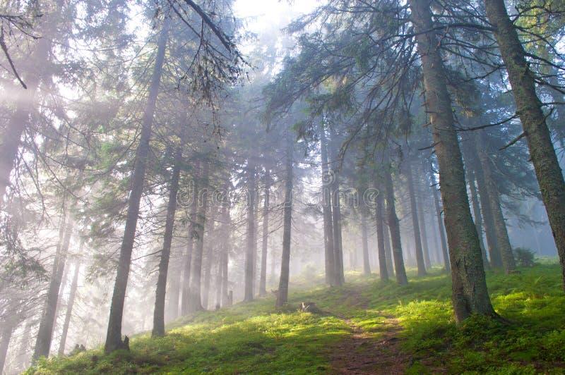 Fotvandra slingan till och med den dimmiga pinjeskogen royaltyfri fotografi