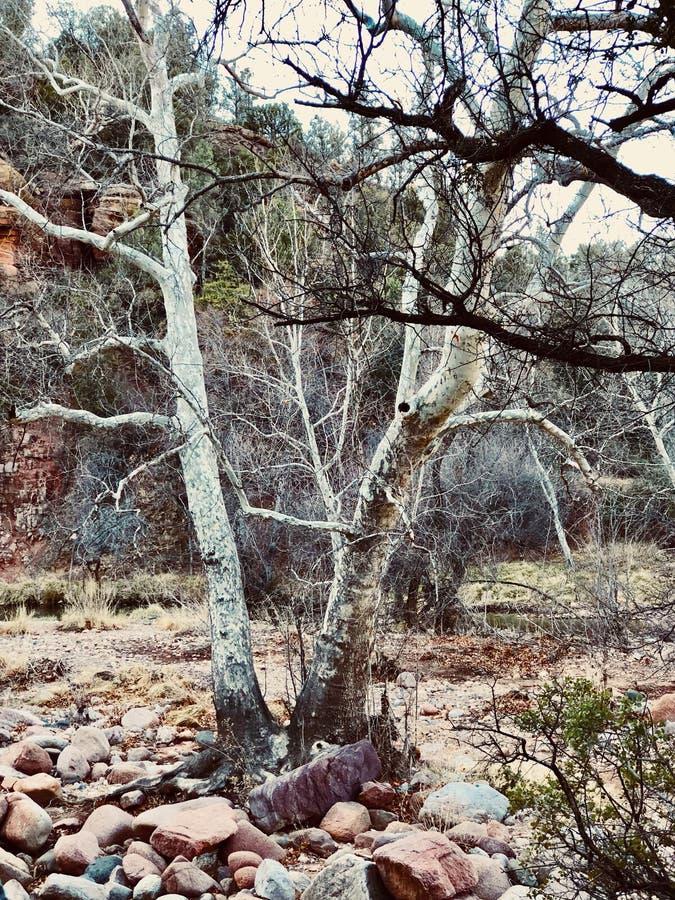 Fotvandra utomhus- vita och svarta träd royaltyfri foto