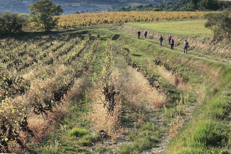 Fotvandrare som går i wineyard royaltyfri foto