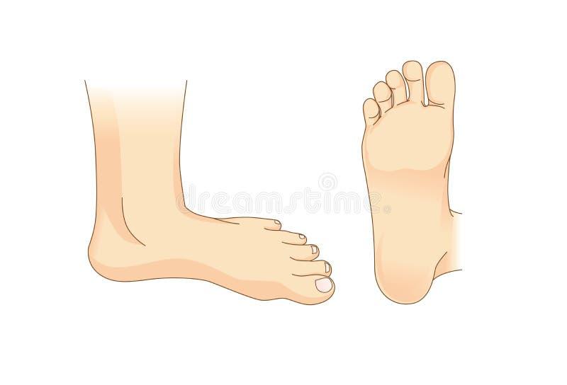 Fotvektor i sidosikt och botten av foten vektor illustrationer