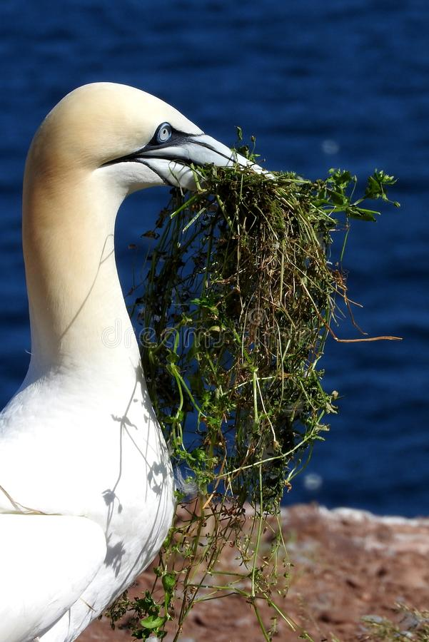 Fou de Bassan du nord d'oiseau en Bonaventure Island dans Gaspesie, Canada image stock