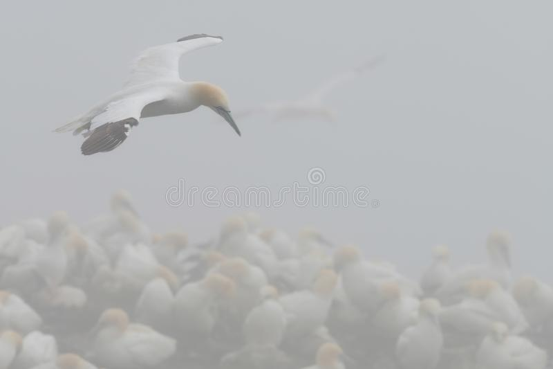 Fou de Bassan du nord en vol en brouillard images libres de droits