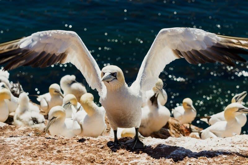 Fou de Bassan toujours avec les ailes ouvertes après le débarquement dans la colonie de multiplication chez Helgoland photo stock