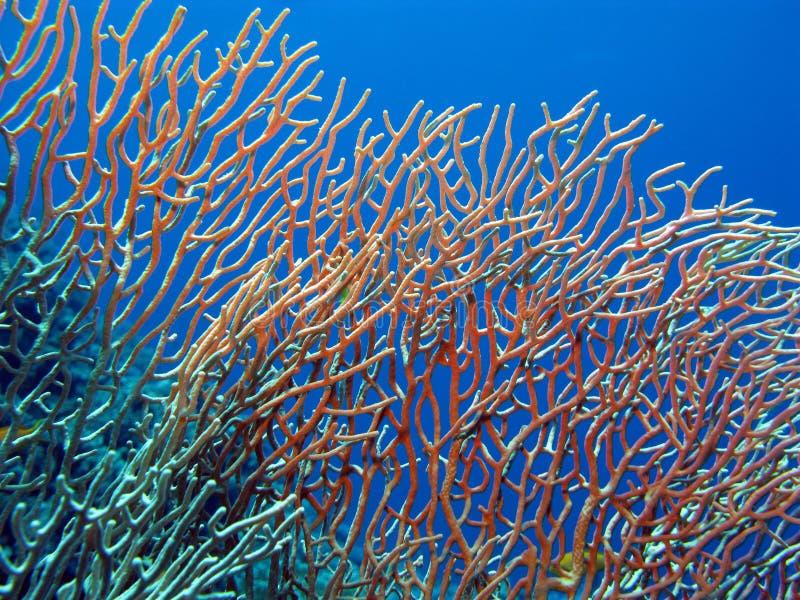 Fouet de mer sur le récif coralien images libres de droits