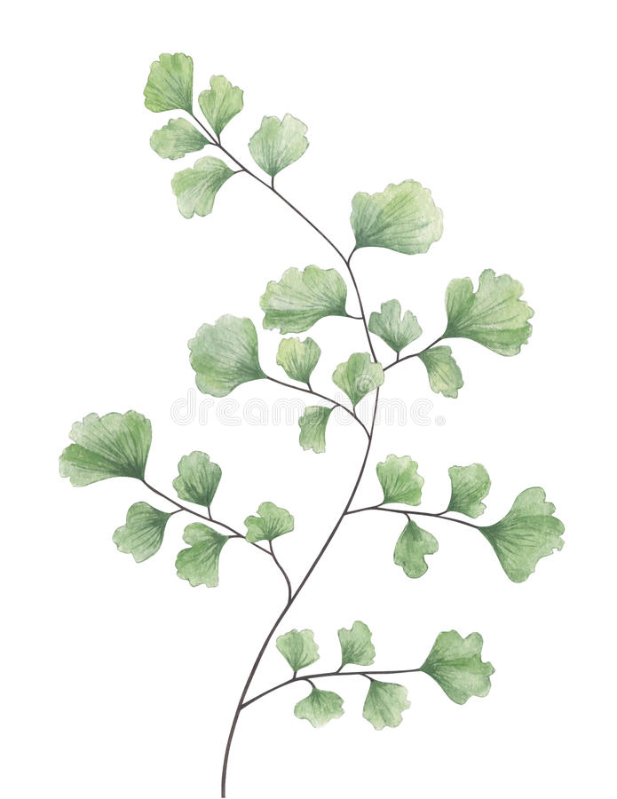 Fougère de maidenhair d'aquarelle d'isolement sur le fond blanc illustration stock
