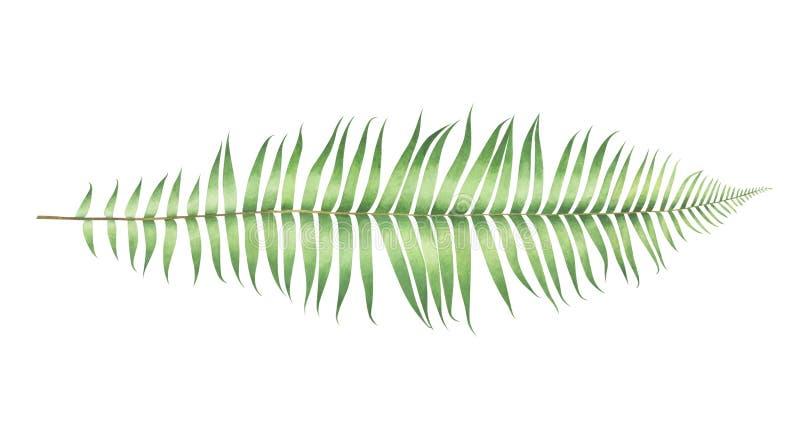 Fougère de munitum de polystichum d'aquarelle d'isolement sur le fond blanc photos libres de droits