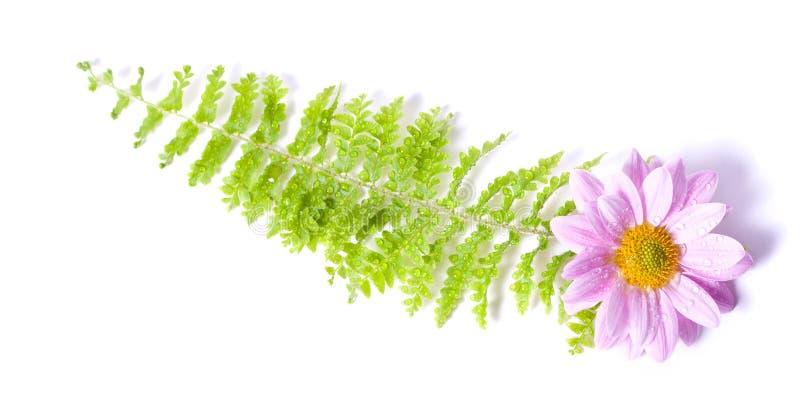 Fougère et chrysanthemum image stock