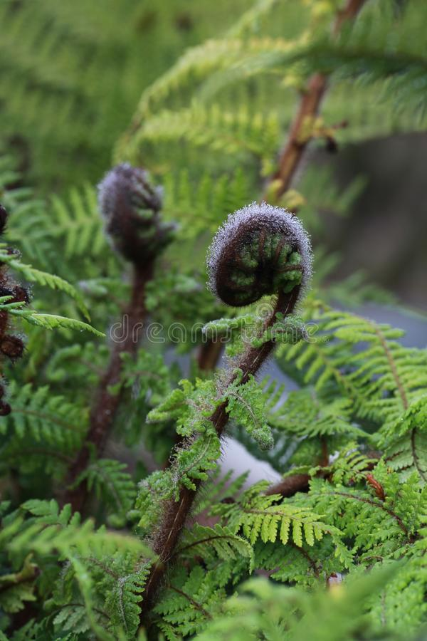 Fougère fraîche en Nouvelle Zélande image stock