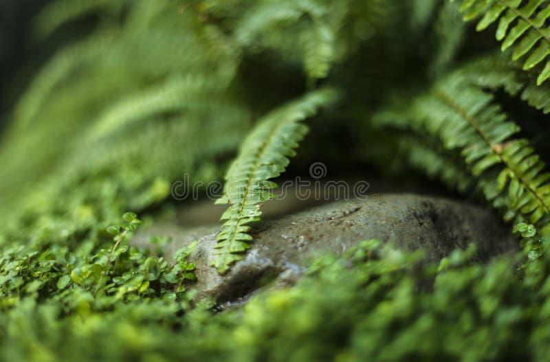 Fougère, mousse et une roche image libre de droits