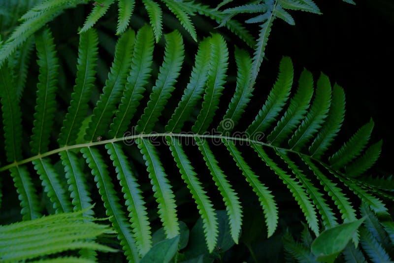 Foug?re tropicale avec des feuilles s'?levant dans un jardin sur le fond fonc? pour le contexte vert de feuillage photographie stock