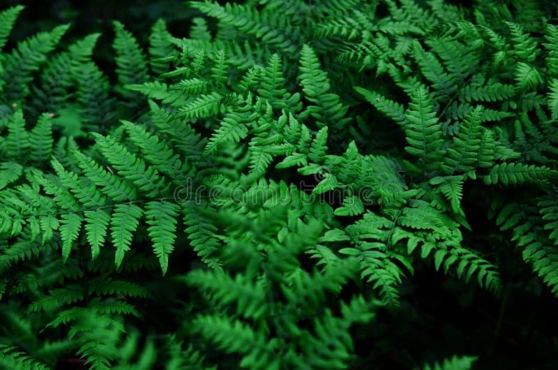 Fougère verte naturelle de feuilles dans la forêt photos stock