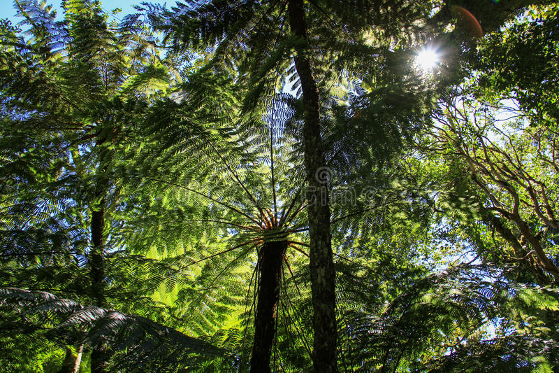 Fougères d'arbre, parc national d'Amboro, Samaipata, Bolivie photo stock