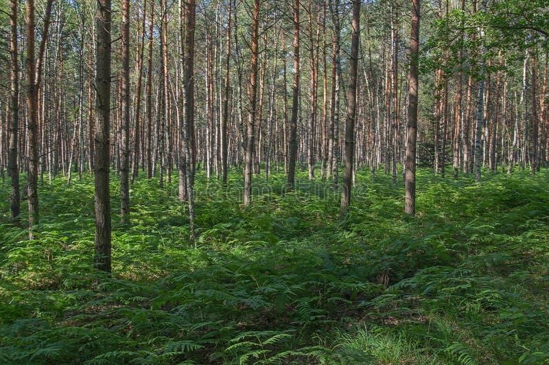 Fougères dans la forêt de pin photos stock