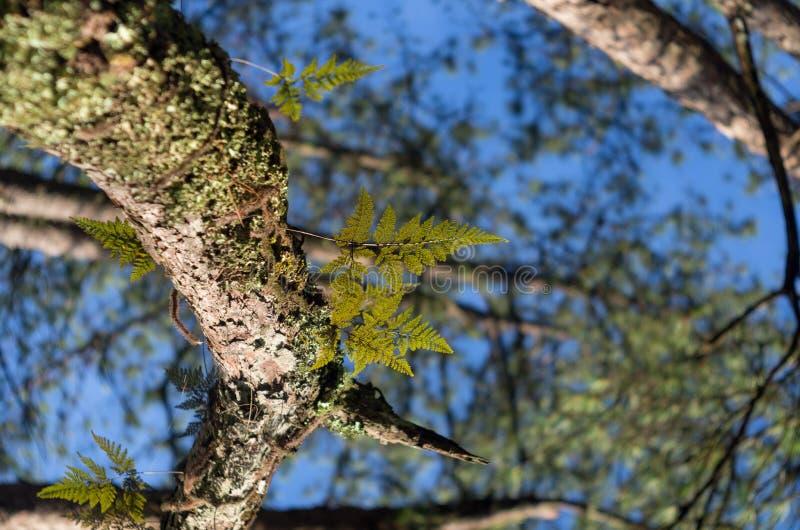Fougères, lichens et mousse dans la forêt de pin photo libre de droits