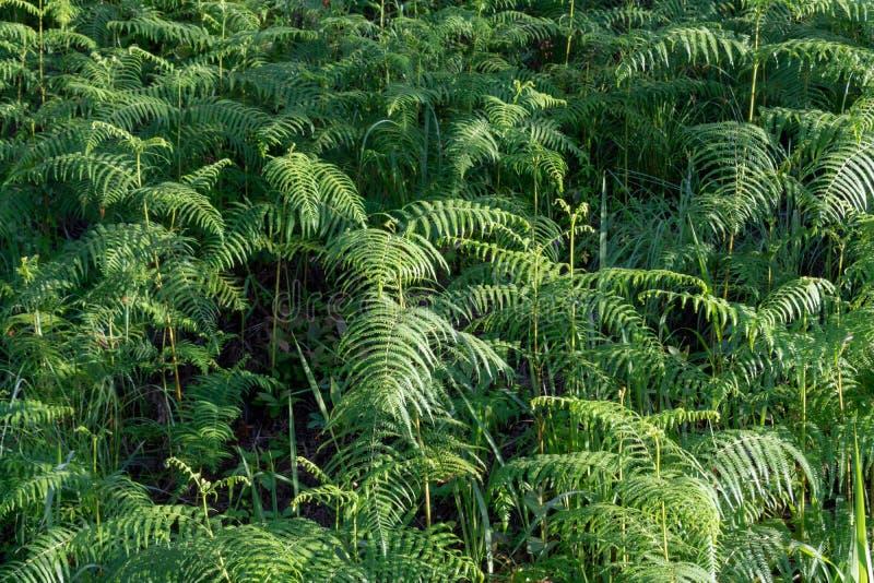 Fougères, lichens et mousse vivants sur le pin C'est la survie du phénomène naturel de la partie de symbiose images libres de droits