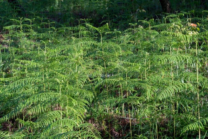 Fougères, lichens et mousse vivants sur le pin C'est la survie du phénomène naturel de la symbiose Le fond avec convolve dessus images stock