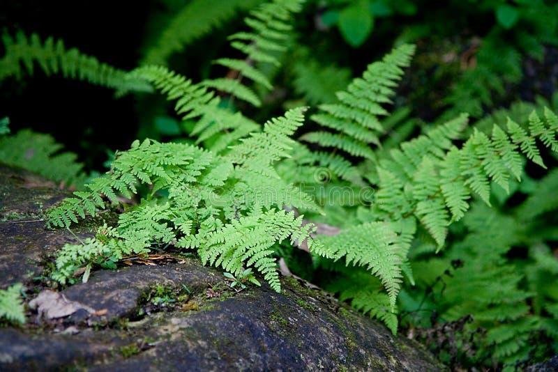Fougères sur l'étage de forêt image libre de droits