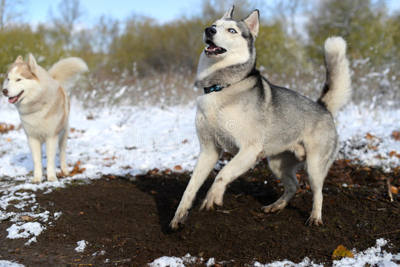Fouille d'impatience de chien de traîneau sibérien photos libres de droits