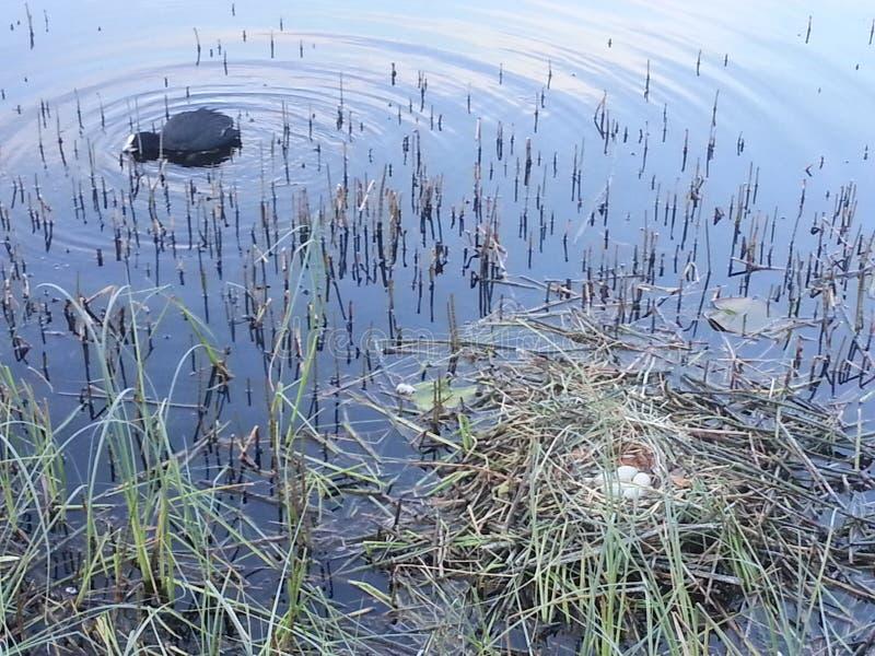 Foulque maroule avec le nid et les egss image stock