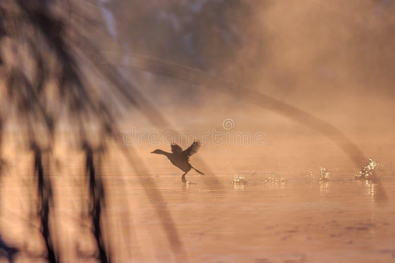 Foulque maroule eurasienne dans le lever de soleil photographie stock