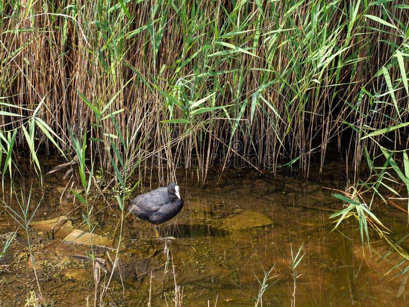 Foulque maroule eurasienne mignonne dans la position d'habitat naturel au bord de l'eau près des roseaux Atra de Fulica photos libres de droits