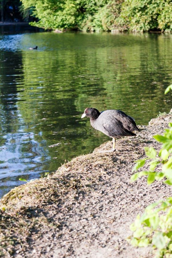 Foulque maroule solitaire se tenant au bord d'un lac image stock