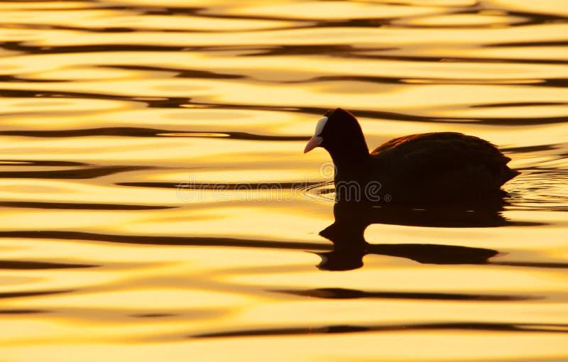 Foulque maroule sur le lac au coucher du soleil photo libre de droits