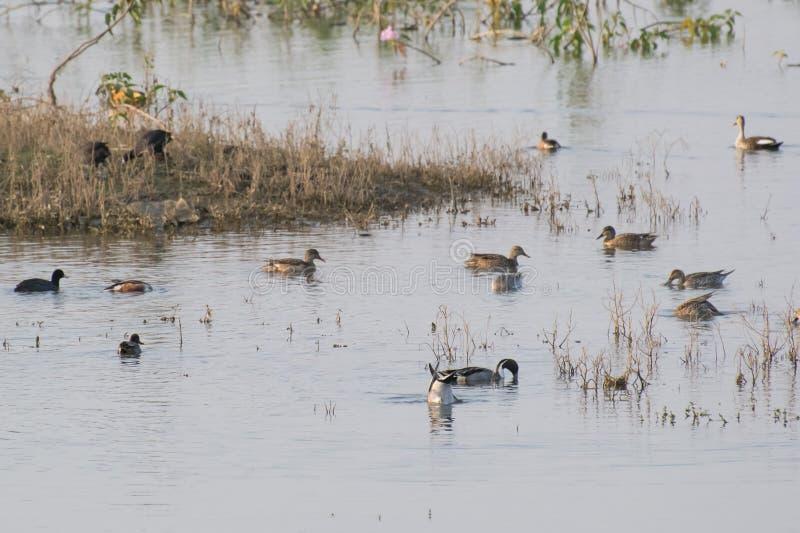 Foulques maroules communes de canards siffleurs eurasiens de canards pilets du nord dans le marécage image stock
