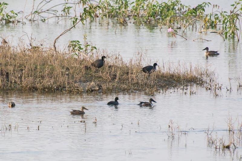 Foulques maroules communes et canards migrateurs photo stock