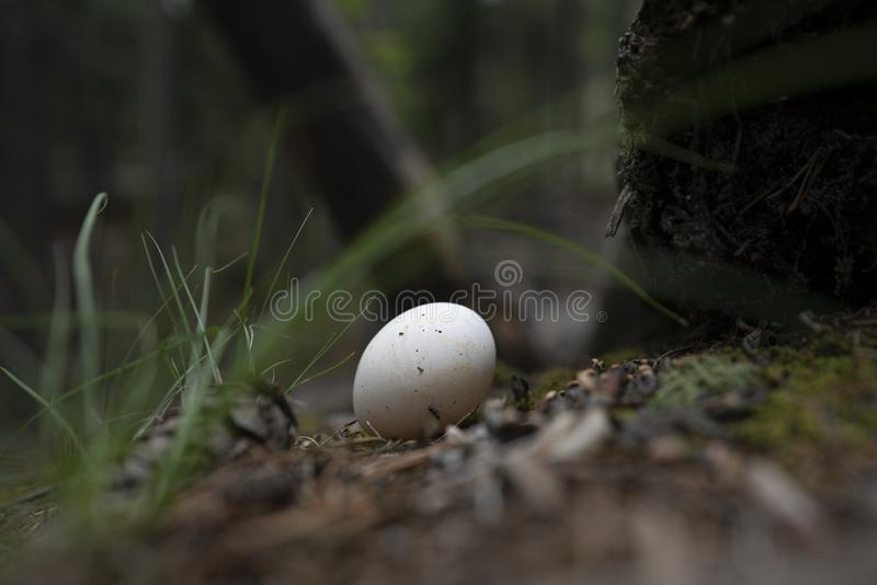Egg on a hiking trail. Found an egg on the hiking trail in Golden colorado. It`s probably an egg for a black bird or some other kind of mountain bird stock images