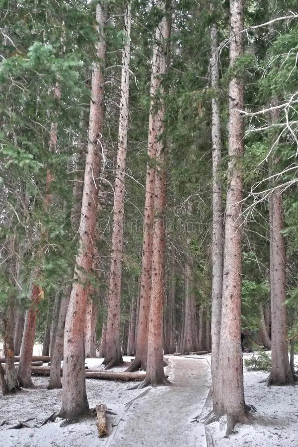 A Path in the Pines, Dusted With Snow royalty free stock photography