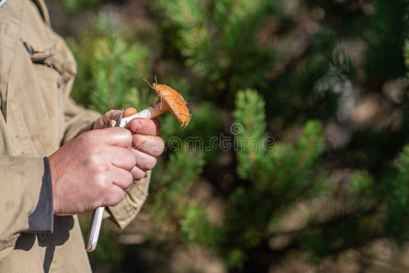 Found Leccinum scabrum in hands of the mushroom picker. Mushroom hunting stock images
