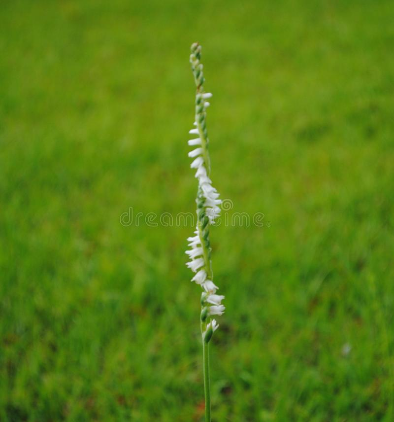 Single Spiral Stalks with White Flowers. Found out in the field, this pleasant but interesting plant has a white flower that spirals around the stalk royalty free stock photos