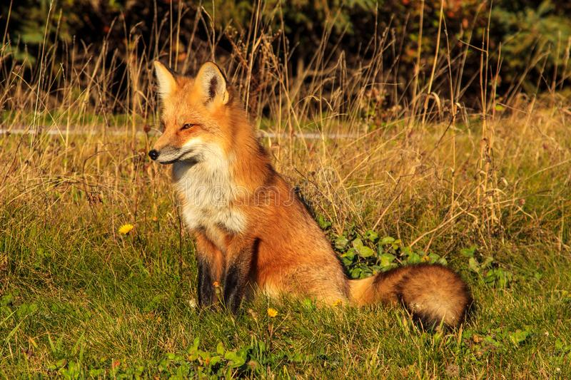 Red fox along the side of the road royalty free stock photography