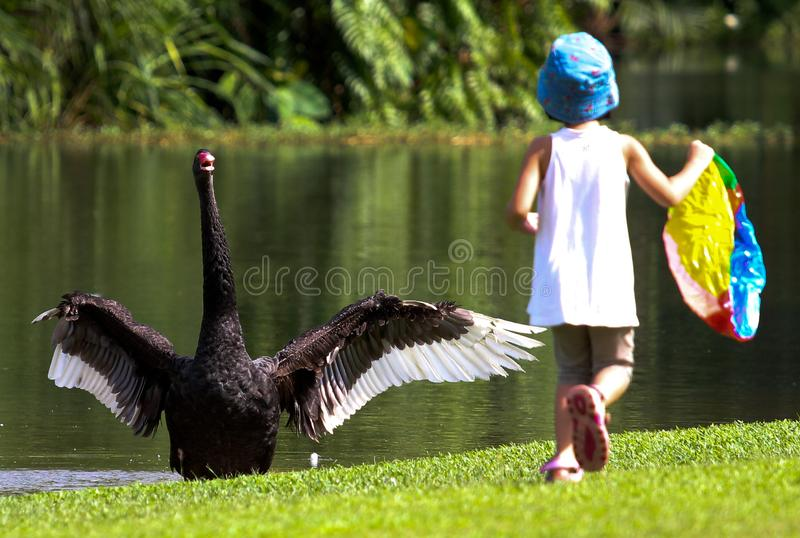 Black swan stocked and frighten by a small girl stock photo