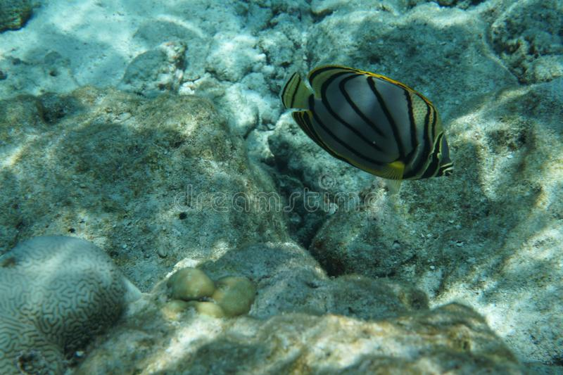 Scrawled butterflyfish Chaetodon meyeri. It is found in the Indian Ocean and Pacific Ocean from East Africa to the Line Islands; north to the Ryukyu Islands royalty free stock photography