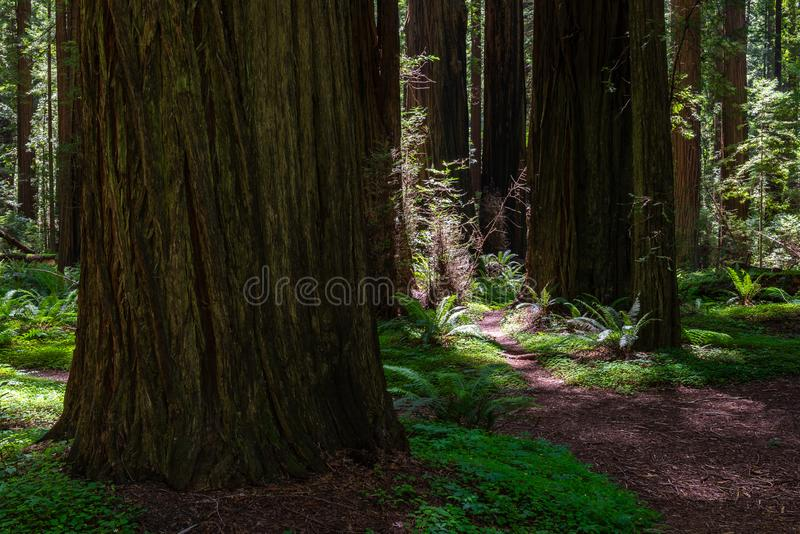 Founder`s Grove in Humboldt Redwoods State Park, California royalty free stock photography