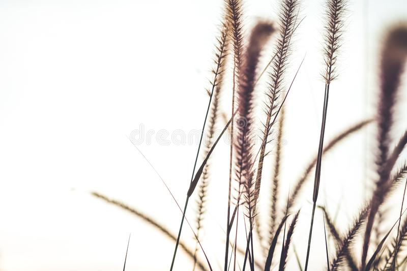 Fountain or Feather grass close up soft vintage. On white background royalty free stock images