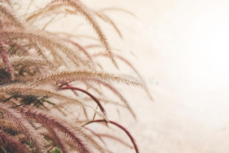 Fountain grass or Feather grass close up. Ornamental plant in the garden ,vintage tone style stock photography