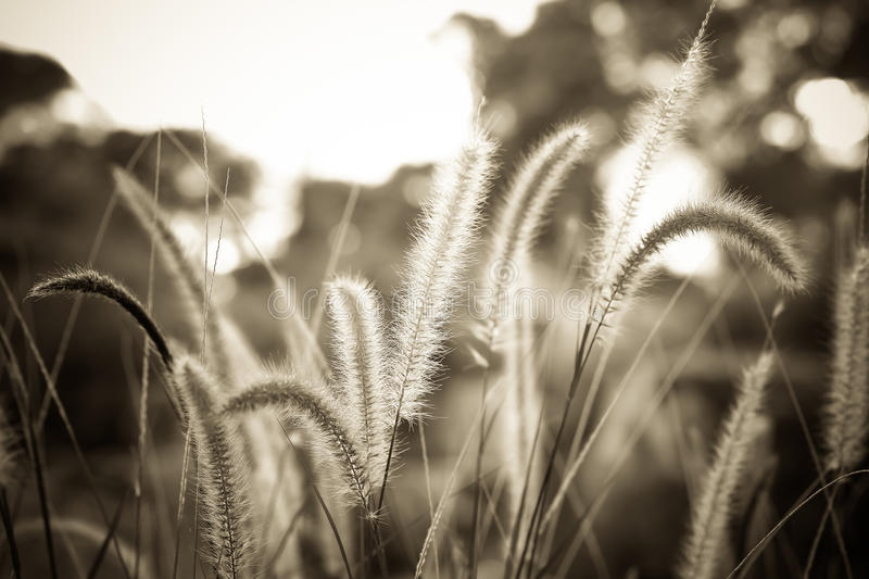 Fountain grass or Feather grass close up. Sepia vintage tone stock images