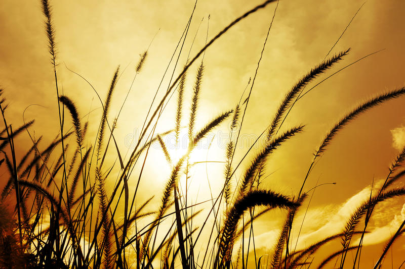 Fountain grass or Feather grass close up. Sunset sky evening, brilliant golden light royalty free stock images