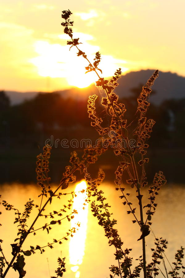 Fountain grass silhouette royalty free stock images