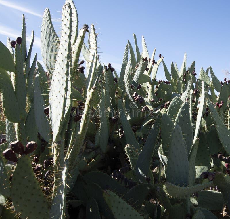 Fountain Hills Scottsdale Arizona Pear Cactus fotos de archivo libres de regalías