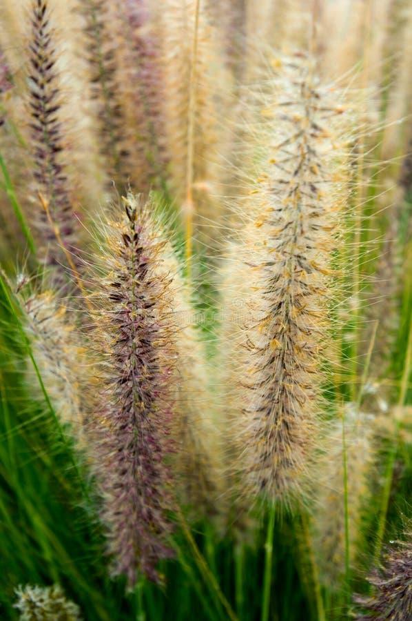 Fountaingrass met vroege ochtenddauw die wordt geladen royalty-vrije stock foto's